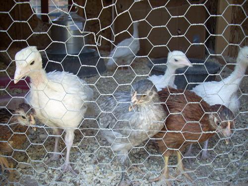 Chicken Coup Hotchkiss Colorado