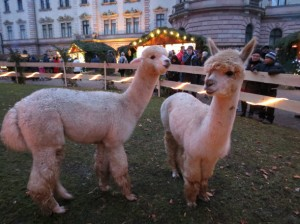 Baby Llamas -Regensburg