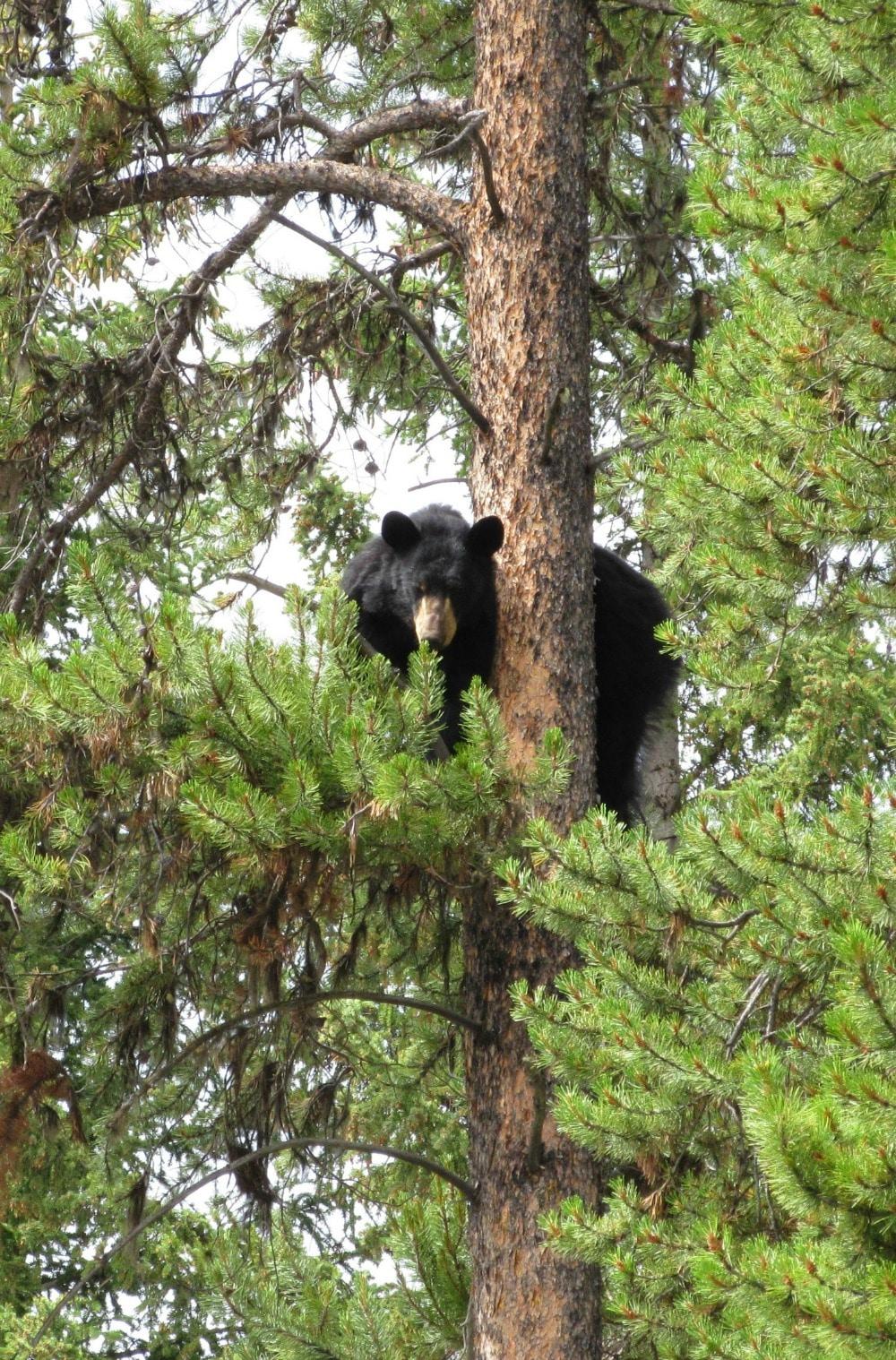 A black bear stuck in a tree at Johnston Canyon #hike #bear #Banff #Canada