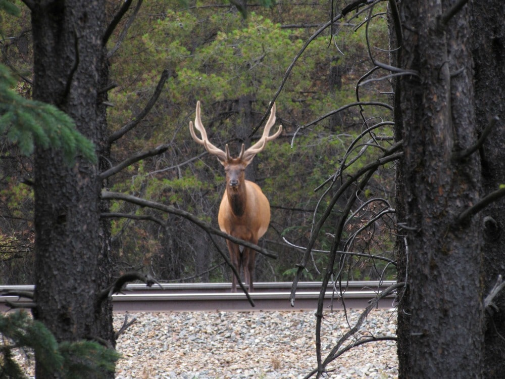 Spotted an #elk on Bow Valley Parkway #Banff #Canada