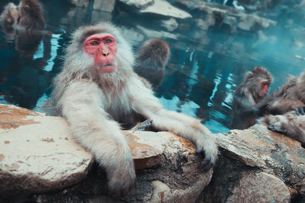 Watch snow monkeys bathing in a hot spring. Jigokudani Snow Monkey Park in Nagano, #Japan