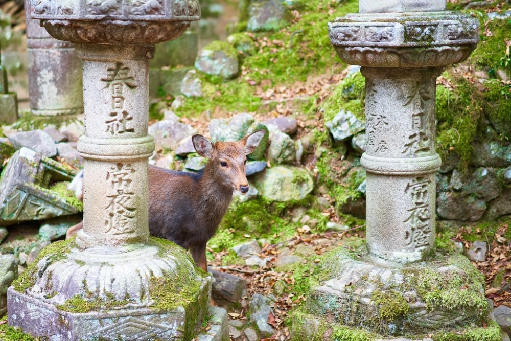 A trip to Nara Park near Osaka will take you among free-roaming deer that like to bow to visitors. #Japan